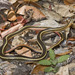 California Striped Racer - Photo (c) Bill Bouton, some rights reserved (CC BY-NC)