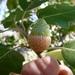 Gander Oak - Photo (c) Al Keuter, some rights reserved (CC BY-NC)