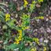 Solidago auriculata - Photo (c) John Abbott, μερικά δικαιώματα διατηρούνται (CC BY-NC-ND)