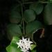 Carissa bispinosa acuminata - Photo (c) Craig Peter, algunos derechos reservados (CC BY-NC)