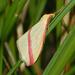 מודד הארכובית - Photo (c) Hectonichus,  זכויות יוצרים חלקיות (CC BY-SA)