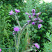 Cirsium palustre - Photo (c) Peter Hanegraaf, μερικά δικαιώματα διατηρούνται (CC BY-NC-ND)