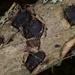 Biscogniauxia repanda - Photo (c) Eugene Popov, algunos derechos reservados (CC BY)