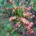 Arrayán - Photo (c) ovilla82, algunos derechos reservados (CC BY-NC)