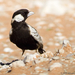 Grey-backed Sparrow-Lark - Photo (c) Johann du Preez, some rights reserved (CC BY-NC-ND)