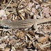 New Mexico Whiptail - Photo (c) Roger Shaw, some rights reserved (CC BY-NC-SA)