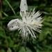 Clematis parviloba - Photo (c) nanhu3742, algunos derechos reservados (CC BY-NC)