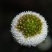 Myriactis humilis - Photo (c) nanhu3742,  זכויות יוצרים חלקיות (CC BY-NC)