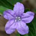 Carolina Ruellia - Photo (c) cotinis, some rights reserved (CC BY-NC-SA)