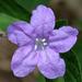 Ruellia caroliniensis - Photo (c) cotinis, alguns direitos reservados (CC BY-NC-SA)