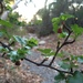 Ribes californicum hesperium - Photo (c) Erica Fraley, some rights reserved (CC BY-NC)
