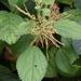 Boehmeria macrophylla - Photo (c) Phuentsho, alguns direitos reservados (CC BY-NC-SA)