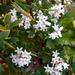 Leucopogon parviflorus - Photo no hay derechos reservados