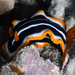 African Chromodorid - Photo (c) Ewout Knoester, some rights reserved (CC BY-NC)