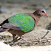 Asian Emerald Dove - Photo (c) Vijay Anand Ismavel, some rights reserved (CC BY-NC-SA), uploaded by Dr. Vijay Anand Ismavel MS MCh