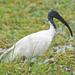 Black-headed Ibis - Photo (c) Vijay Anand Ismavel, some rights reserved (CC BY-NC-SA), uploaded by Dr. Vijay Anand Ismavel MS MCh
