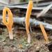 Lepidostroma - Photo (c) Alan Rockefeller, algunos derechos reservados (CC BY)