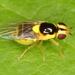 Chloropidae - Photo (c) johnguerin, μερικά δικαιώματα διατηρούνται (CC BY-NC)