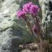 Viscaria alpina - Photo (c) Eivind Kvamme, algunos derechos reservados (CC BY-NC)