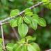 Árbol de la Muerte - Photo (c) Jenn Megyesi, algunos derechos reservados (CC BY-NC)