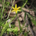 Yellow Star - Photo (c) Geoffrey Cox, some rights reserved (CC BY)