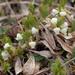 Arctous alpina - Photo (c) Amadej Trnkoczy, algunos derechos reservados (CC BY-NC-SA)