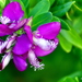 Sweet Pea Shrub - Photo (c) Rachid H, some rights reserved (CC BY-NC)
