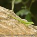 Barahona Green Anole - Photo (c) Ron Savage, some rights reserved (CC BY-NC-SA)
