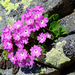 Primula hirsuta - Photo (c) Matthieu Lienart,  זכויות יוצרים חלקיות (CC BY-NC-SA)