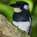 Black-breasted Puffbird - Photo (c) Andres Hernandez S., some rights reserved (CC BY-NC-SA)