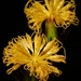 Gynura japonica - Photo (c) nanhu3742,  זכויות יוצרים חלקיות (CC BY-NC)