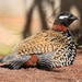 Black Francolin - Photo (c) Tony Hisgett, some rights reserved (CC BY)