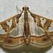 Glyphodes pyloalis - Photo (c) David Dodd,  זכויות יוצרים חלקיות (CC BY)