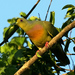 Orange-breasted Green-Pigeon - Photo (c) David Cook Wildlife Photography, some rights reserved (CC BY-NC)