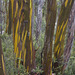 Eucalyptus subcrenulata - Photo (c) Nuytsia@Tas, algunos derechos reservados (CC BY-NC-SA)
