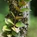 Codonanthopsis crassifolia - Photo (c) gaertnerneuwirth,  זכויות יוצרים חלקיות (CC BY-NC)