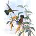Humboldt's Sapphire - Photo John Gould, no known copyright restrictions (public domain)