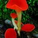 Sarcoscypha occidentalis - Photo (c) אנונימי,  זכויות יוצרים חלקיות (CC BY-SA)