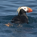 Papagaio-Do-Mar-de-Penachos - Photo (c) larzalere, alguns direitos reservados (CC BY-NC)