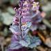 Mount Diablo Jewelflower - Photo (c) Ken-ichi Ueda, some rights reserved (CC BY), uploaded by Ken-ichi Ueda