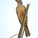 Chlamydera cerviniventris - Photo (c) Nik Borrow, algunos derechos reservados (CC BY-NC)