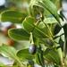 Cinnamomum yabunikkei - Photo (c) harum.koh, μερικά δικαιώματα διατηρούνται (CC BY-SA), uploaded by harum.koh