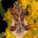 Phymatinae - Photo (c) Judy Gallagher, algunos derechos reservados (CC BY), uploaded by Judy Gallagher