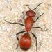 Dasymutilla nigripes - Photo (c) Judy Gallagher, algunos derechos reservados (CC BY), uploaded by Judy Gallagher