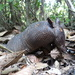 Brazilian Seven-banded Armadillo - Photo (c) Vincent A. Vos, some rights reserved (CC BY-NC)