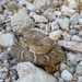 New Mexico Ridgenose Rattlesnake - Photo (c) phhbrown, some rights reserved (CC BY-NC)