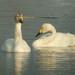 Cisne de Bewick - Photo (c) Sciadopitys, algunos derechos reservados (CC BY-SA)