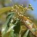 Alphitonia excelsa - Photo (c) Margaret Donald, osa oikeuksista pidätetään (CC BY-NC-ND)
