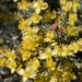 Coleogyne ramosissima - Photo (c) Brent Miller, algunos derechos reservados (CC BY-NC-ND)