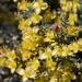 Coleogyne ramosissima - Photo (c) Brent Miller, osa oikeuksista pidätetään (CC BY-NC-ND)